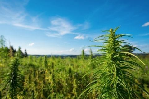 wild hemp plants